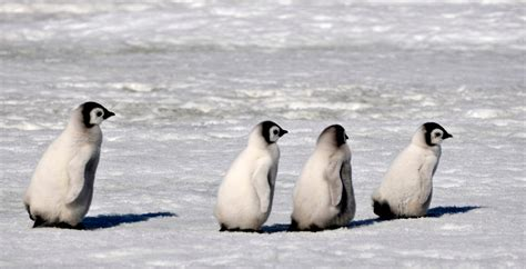 Baby Penguins Marching