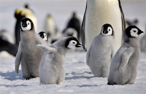 Almost all baby penguins born in second largest Emperor